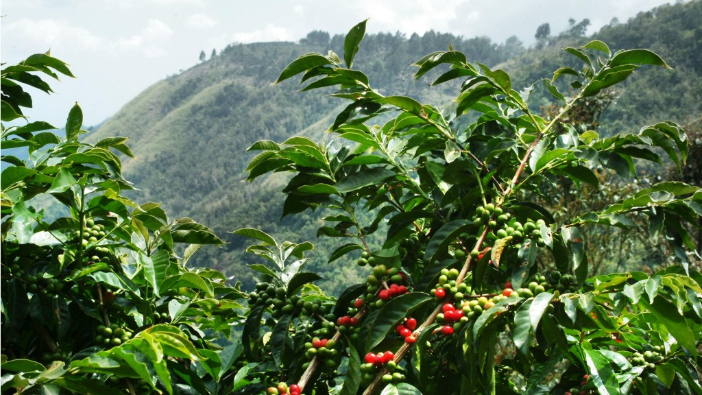 Jamaican-Blue-Mountain-Coffee-Tree