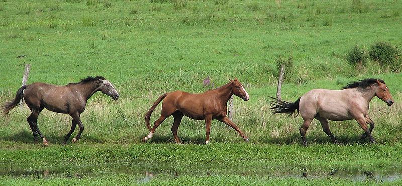 Des chevaux au galop