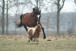 Un poney Shetland et un cheval de selle