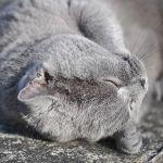 Acheter un British Shorthair: quel est le prix d'un chaton?