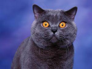 British Shorthair Bleu : la fourrure la plus populaire