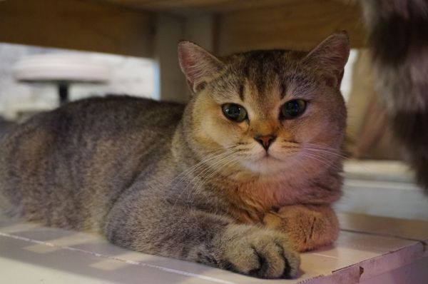 Accueillir un chaton British Shorthair