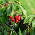 Quand doit-on planter ses arbres fruitiers ?