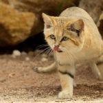 A la découverte du chat des sables