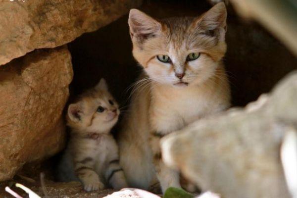 Israele-rarissimi-gatti-delle-sabbie-4-630x420