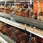 Elevage de poules en batterie dans des conditions exécrables à Chauché