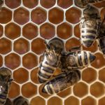 Est-il possible d'être apiculteur amateur ?