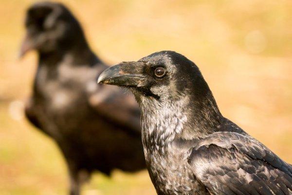 Les corbeaux ont un self-control exceptionnel