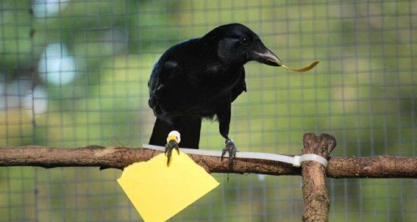 corbeaux Nouvelle-Calédonie