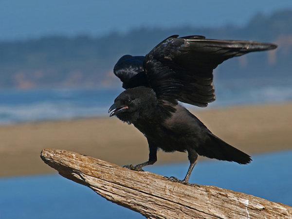 Les corbeaux sont rancuniers