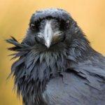 5 faits qui démontrent l'intelligence des corbeaux